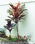 Cordyline fruticosa ´Tricolor´