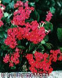 Kalanchoe blossfeldiana ´Isabella´