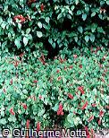 Acalypha chamaedrifolia
