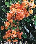 Bougainvillea spectabilis ´Killie Campbell´