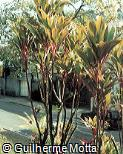 Cordyline fruticosa ´Mr. Ed´