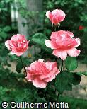 Rosa x grandiflora ´Blessings´
