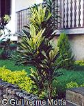 Cordyline fruticosa ´Turkey Tall´