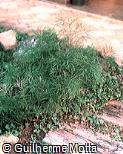 Asparagus setaceus ´Plumosa´