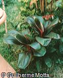 Cordyline fruticosa ´Bolero´