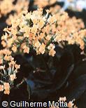 Kalanchoe blossfeldiana ´Beta´