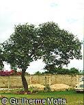 Qualea grandiflora