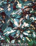 Graptophyllum pictum ´Tricolor´