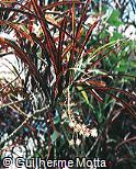 Codiaeum variegatum var. taeniosum