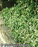 Ficus pumila ´Variegata´