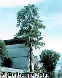 Myrocarpus frondosus
