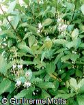 Rotheca myricoides subsp. myricoides