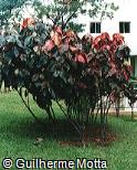 Acalypha wilkesiana ´Macrophylla´