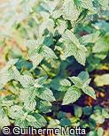 Mentha × villosa