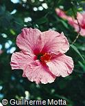 Hibiscus rosa-sinensis ´Seminole Pink´