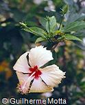 Hibiscus rosa-sinensis ´Sprinkle Rain´