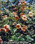 Hibiscus rosa-sinensis ´Gelia Castillio´