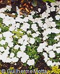 Impatiens walleriana ´Super Elfin Xp White´