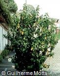 Hibiscus rosa-sinensis ´Byron Metts´