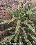 Dracaena fragrans ´Lemon Lime´