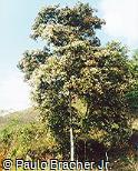 Cordia trichotoma