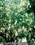 Malvaviscus arboreus ´Rosea´