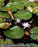 Nymphaea nouchali var. caerulea