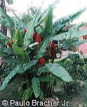 Musa coccinea