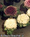 Brassica oleracea ´Acephala´