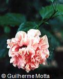 Hibiscus rosa-sinensis ´Pamela Anne´