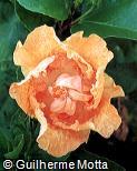 Hibiscus rosa-sinensis ´Epsiode´