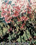 Begonia x ricinifolia