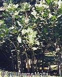 Montrichardia linifera