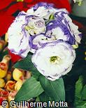 Eustoma grandiflorum