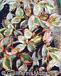 Peperomia clusiifolia ´Variegata´