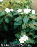 Catharanthus roseus ´Albus´
