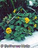 Lysimachia congestiflora