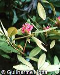 Rhododendron smirnowi