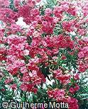 Nerium oleander ´Splendens double pink´