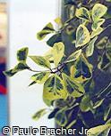 Ficus natalensis subsp. leprieurii ´Variegata´