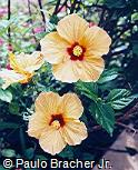 Hibiscus rosa-sinensis ´Bari´