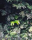 Calliandra haematocephala var. haematocephala