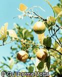 Citrus limon ´Ponderosa´