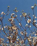 Tabebuia roseoalba