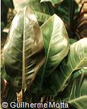 Philodendron renauxii