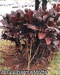 Cordyline fruticosa ´Bosworth Black´