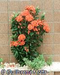 Ixora coccinea ´Orange King´