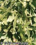 Brasiliopuntia brasiliensis