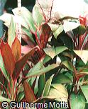 Cordyline fruticosa ´Baby Doll´