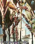 Cordyline fruticosa ´Mr. Ed´